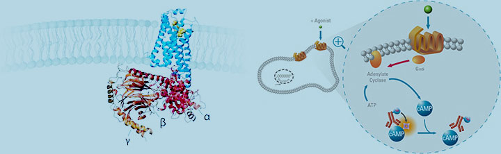 G-protein Coupled Receptors Market Size and Business Opportunities